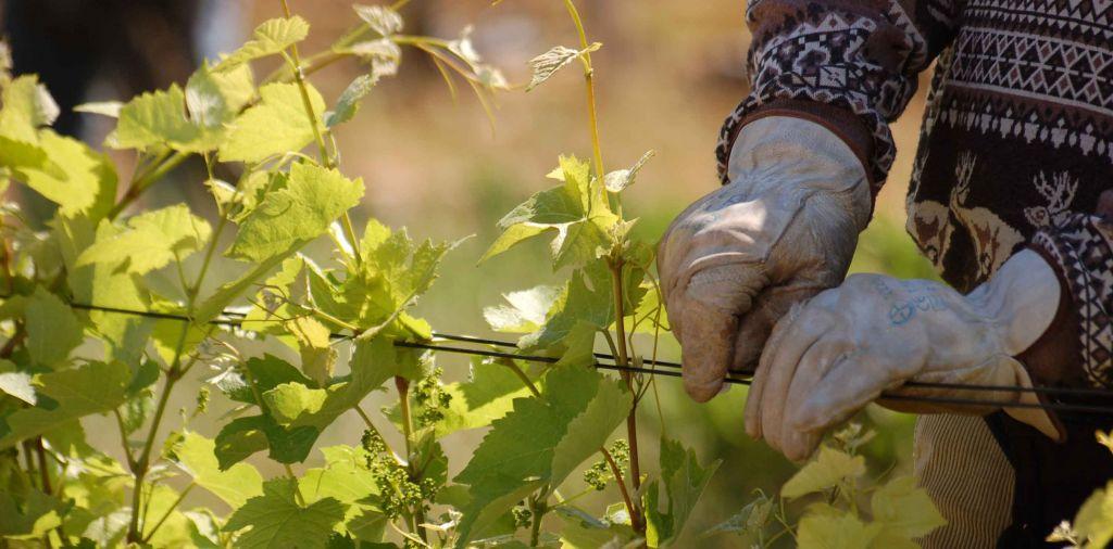 Palissage dans les vignes.